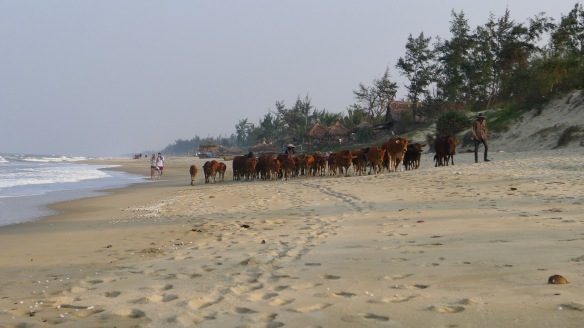 The beautiful cows and calves that nearly ran us over at the beach; they were adorably small and looked happy as clams, if that metaphor makes sense in this context
