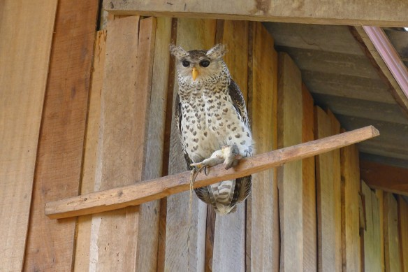 One of the villagers kept an owl as a pet. Sadly, this was one of the very few live birds we saw in Laos. In fact, their absence was conspicuous.